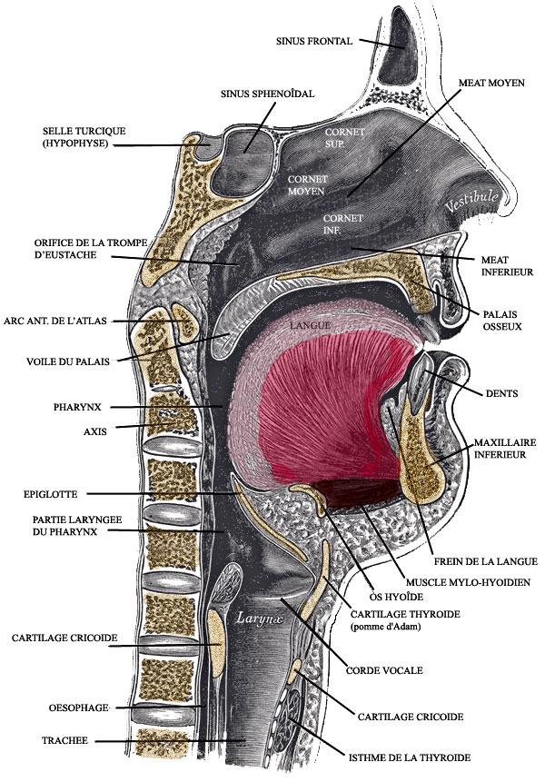 Anatomie Bouche anatomie du carrefour aéro-digestif