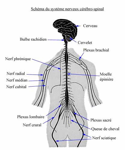-Le système nerveux périphérique, comprenant des nerfs et des ganglions