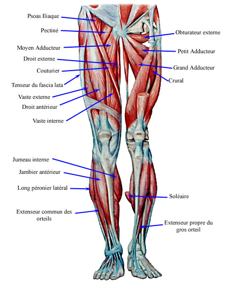 Picture Of The Leg Muscles
